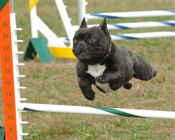 Soren soaring over a jump.  He was amazingly athletic and loved competing in the sport of agility.  Photo by Barry Rosen Photography (c)