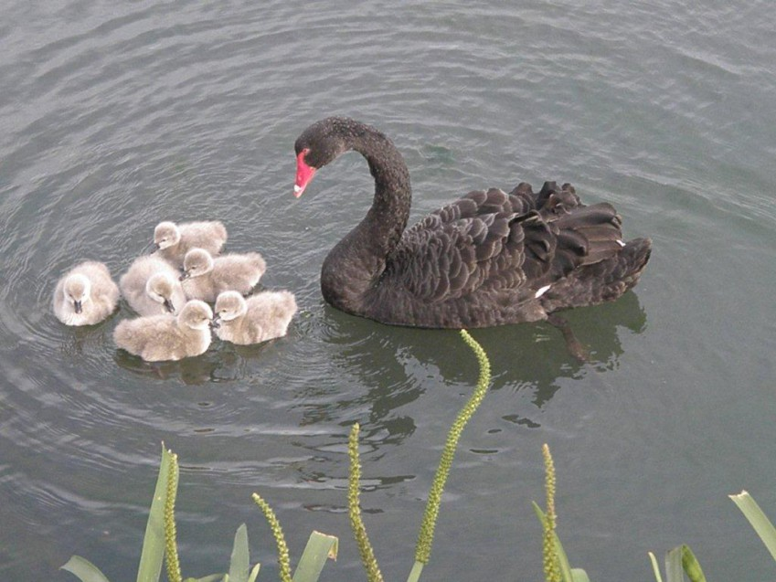 black-swan-and-cygnets-e1430197534385.jpg