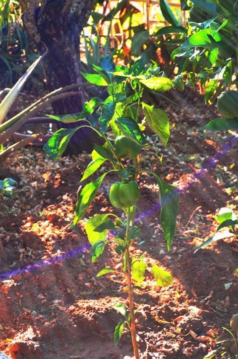 A green pepper plant