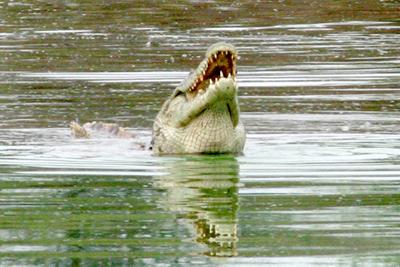 Croc, Kruger NP '05.jpg