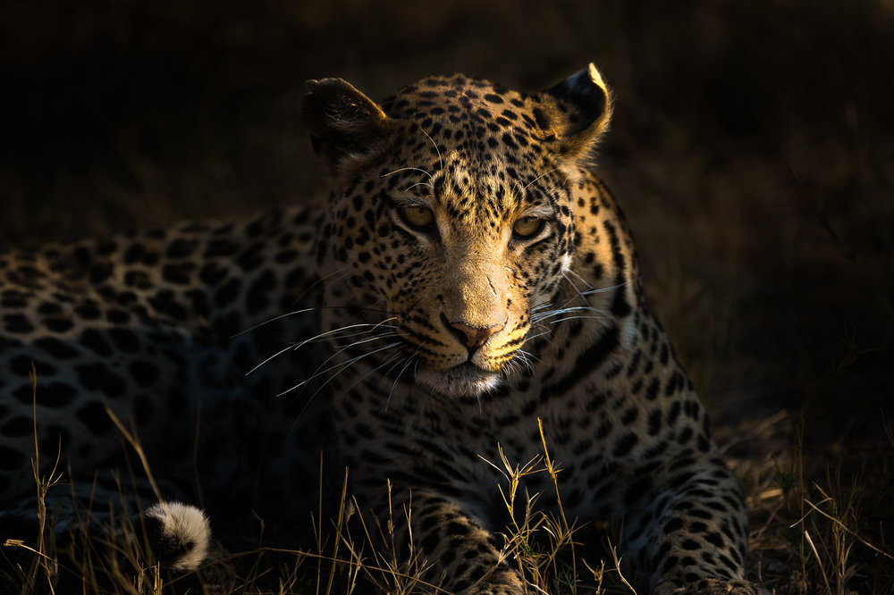 Leopard In The Shade by John Clark  Runner Up Malcolm Freeman Trophy for Wildlife - DPI