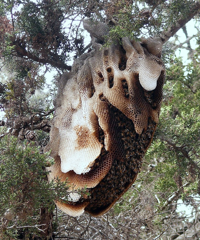 biodiverseed :      cunningvelociraaptor :     Honeycombs in the wild are  amazing.      The things bees can do when we let them remain feral.   # bees