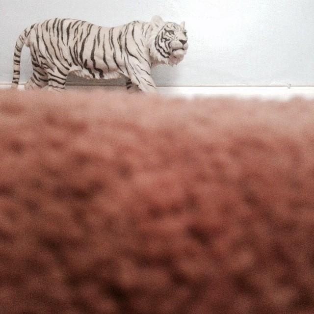 #white #tiger domestic #grasslands