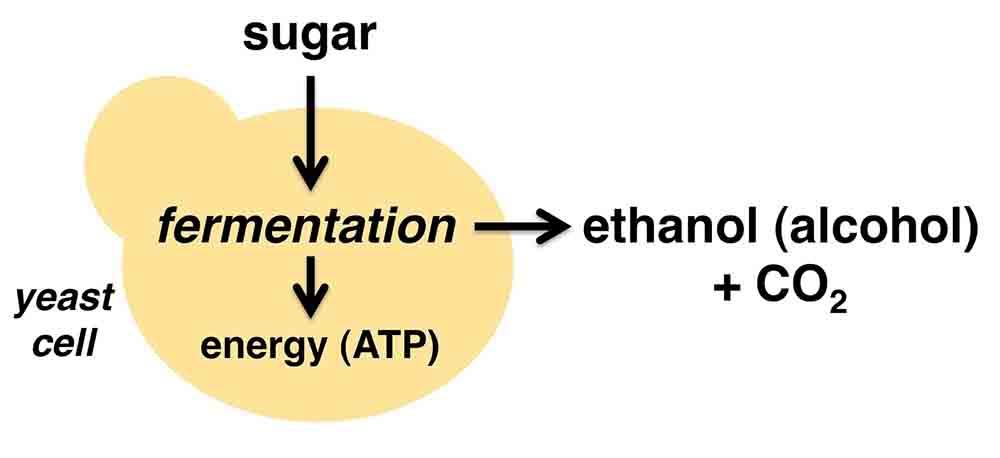 Yeast fermentation diagram