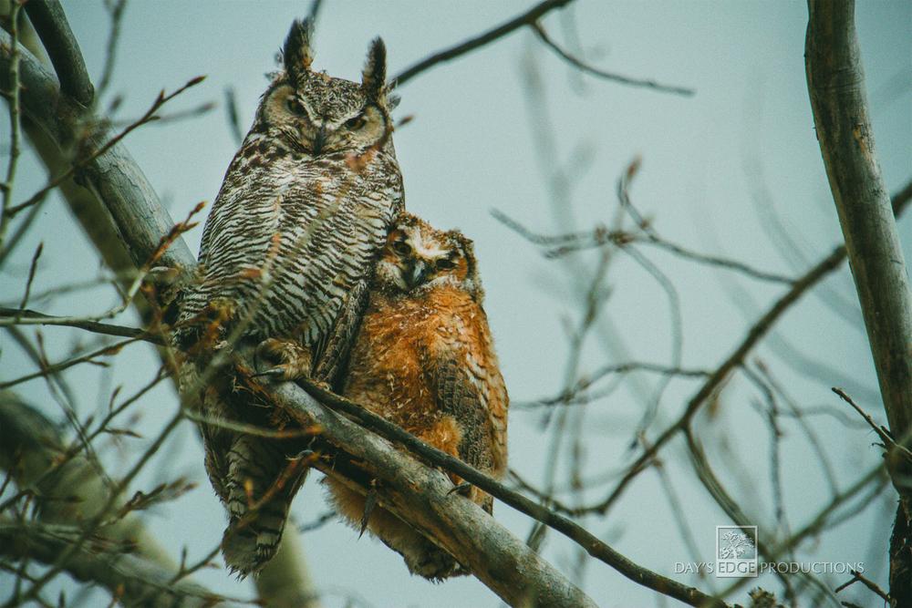 ENDofSNOW_Owls.jpg