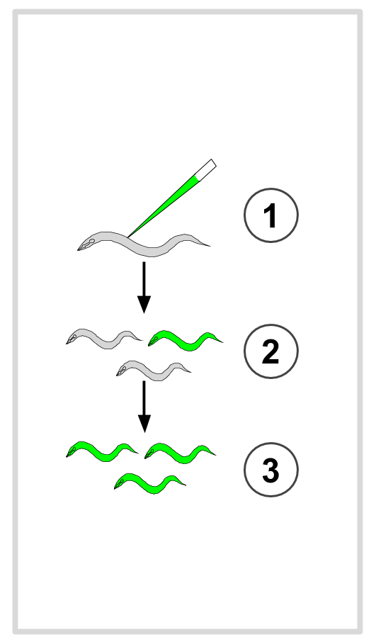 Worm Transgenic Capture.png