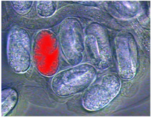 Red embryo