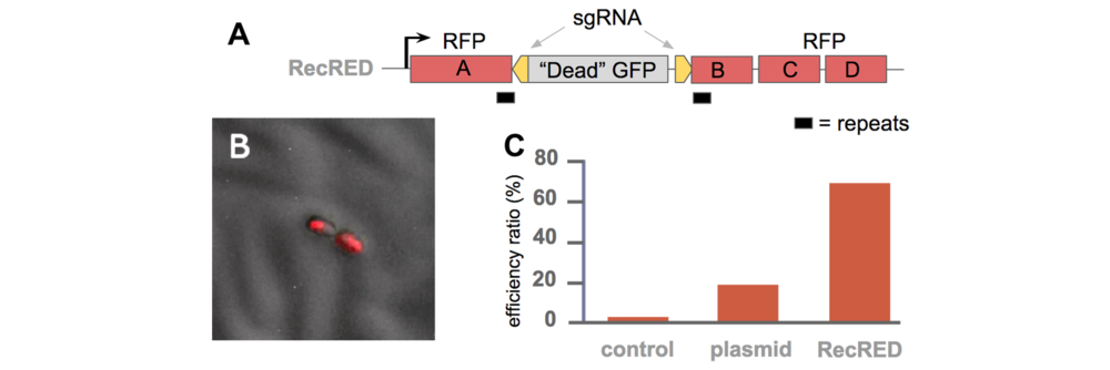 Efficiency of RecombiREAD in finding jackpot plates.  A) configuration of recombiREAD reporter recRED. B) embryo's reporting activation of homologous recombination as induced red fluorescence at 24hrs post injection. C) efficiency of recombiREAD for finding injections containing targeted gene edit.