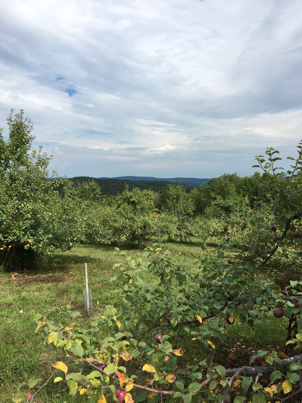That Berkshires view from the orchard. 😍