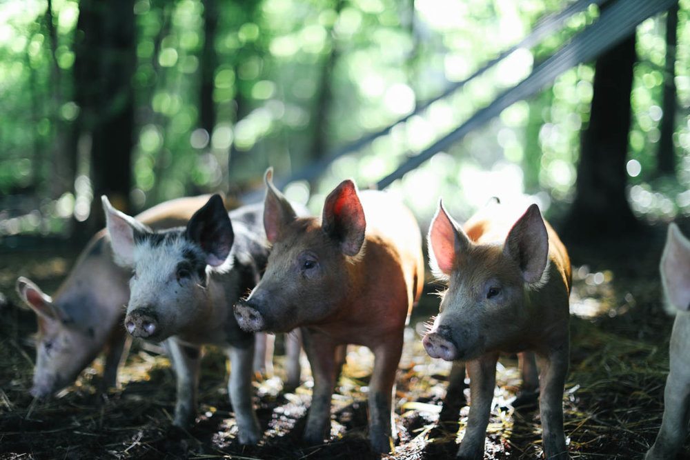 Little piggies at Little Ghent Farm