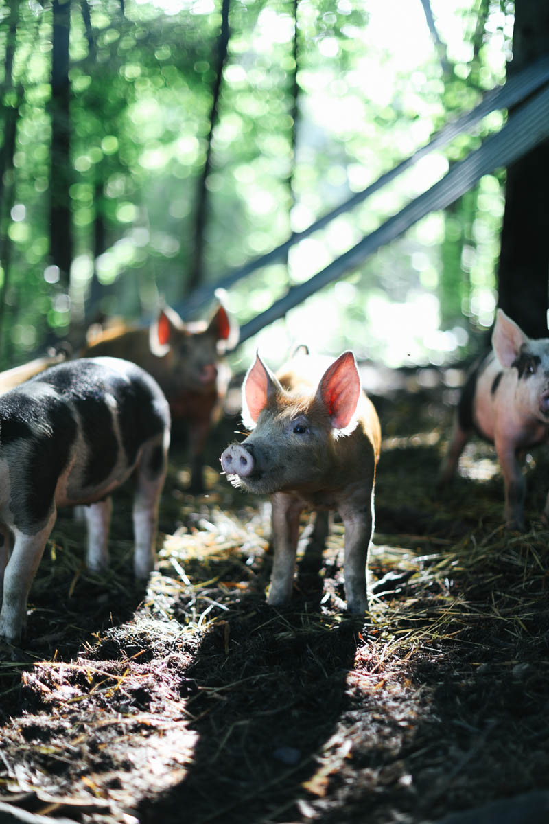 The morning light on the farm and these piglets