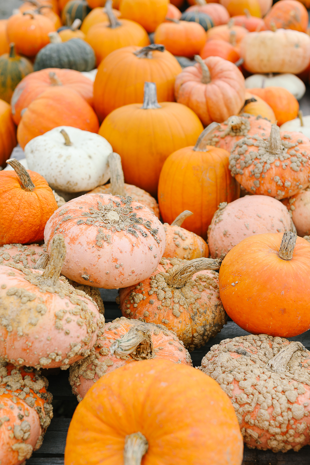 Warty pumpkins at Taft Farm.