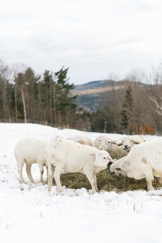sheep.jpg