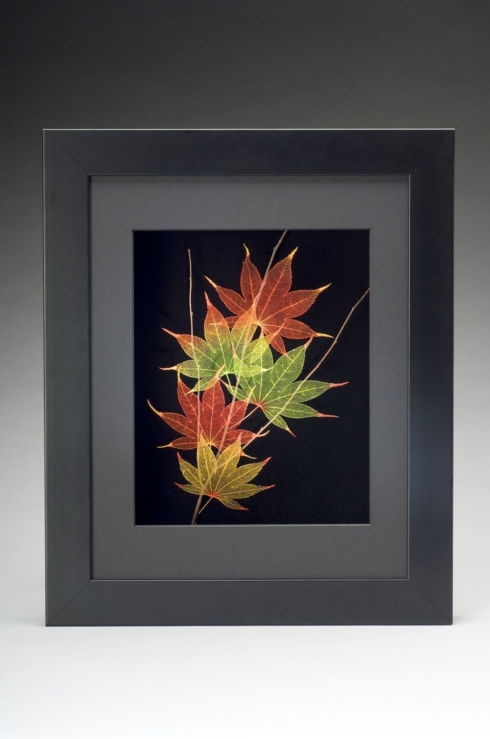Shadowbox 11x14 Japanese Maple