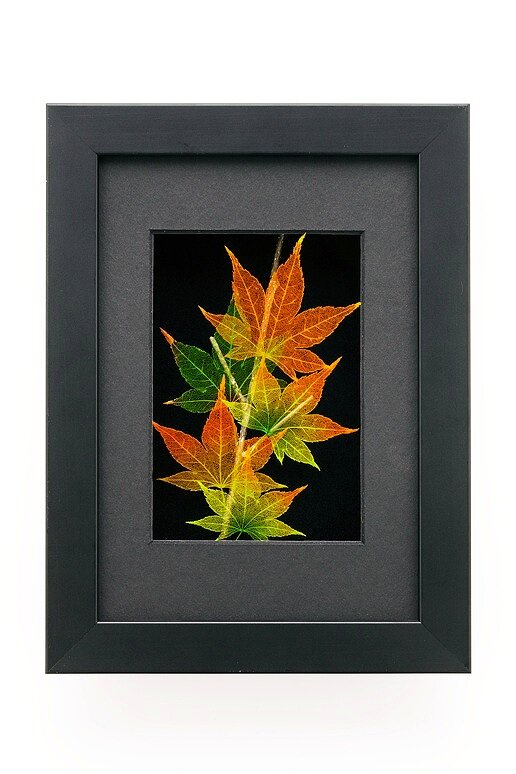 5x7 Shadowbox Japanese Maple