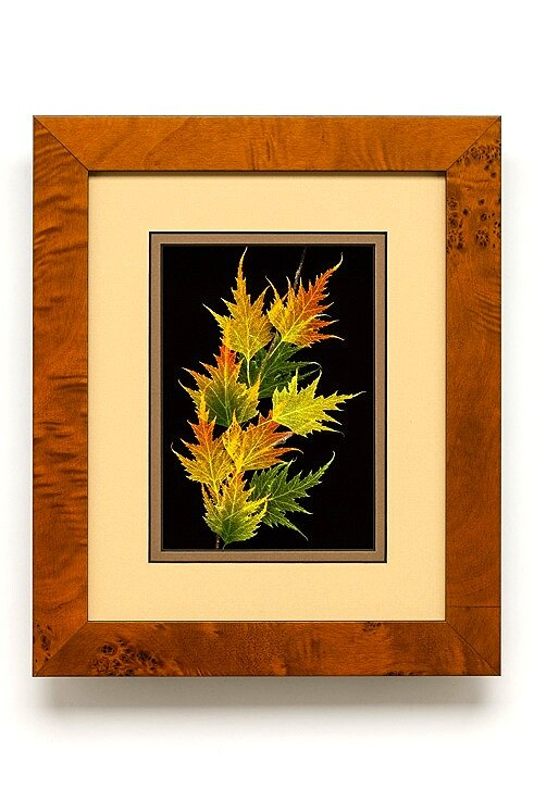 Shadowbox 8x10 Cutleaf Birch