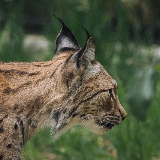 Lynx Il y en a d'autres sur http://aureliensanchez.fr #lynx #animalphotography #animaux