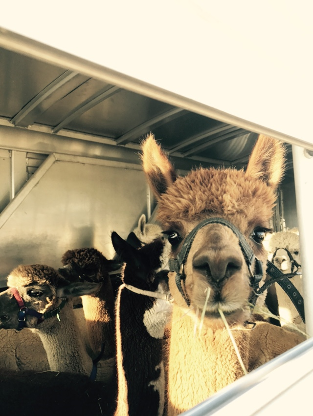 Alpacas headed back to the farm from Arizona