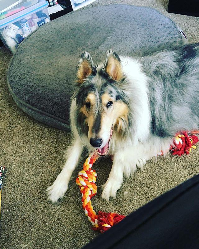 This face #myheart #lovemydog #colliesofinstagram #bluemerle #bluemerlecollie #bestdogever