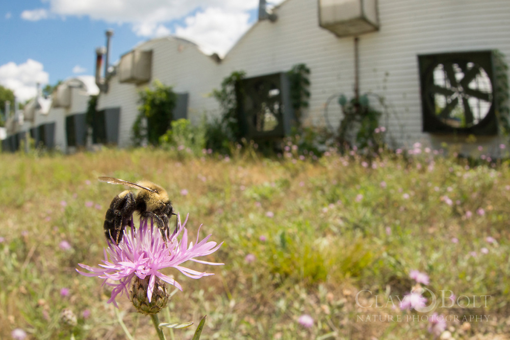 Scientists believe that  Nosema bombi , the pathogen that seems to be a driving force behind the rusty-patched bumble's decline, was spread to wild population of bees via greenhouses using commercially raised bumble bees like the common eastern bumble bee ( Bombus impatiens ). It is easy for commercially raised bees to escape from greenhouse vents and mix with wild bees on the outside.