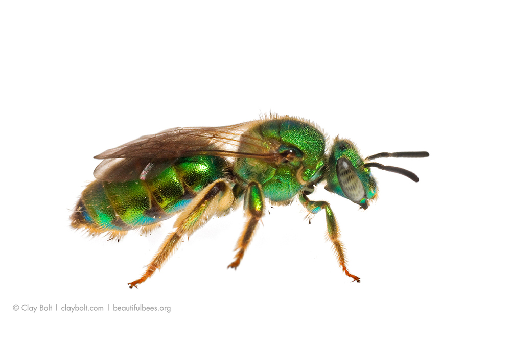 Metallic Green Bee ( Augochloropsis metallica ), Photographed in the  Meet Your Neighbours  Field Studio, Pickens, South Carolina