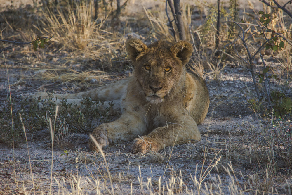 Namibia Etosha National Park Wildlife Safari Drive Lion Cub - Oana Dragan 2017 0M4A6892 Lg RGB.jpg