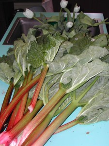 Fresh rhubarb from the garden