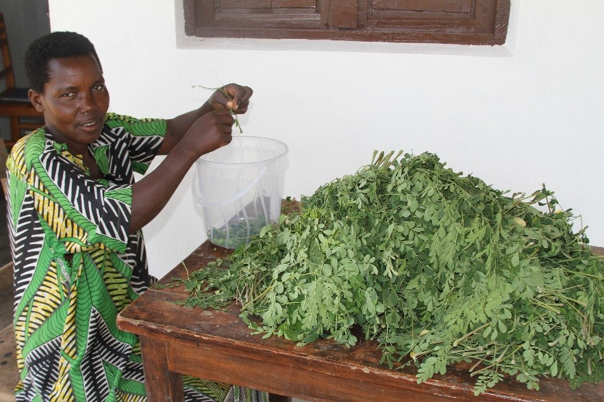 Virginie preparing amaoringa leaves.jpg