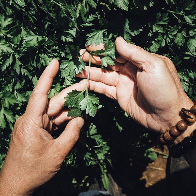 "Come up close and meet a friend of mine, ""Mr/s. Parsley"" !!! (Dan Nguyen's Horticulture Farm 8550 @ Elk Grove, CA) #horticulture #khairestaurant #vegetables #chefkhai"