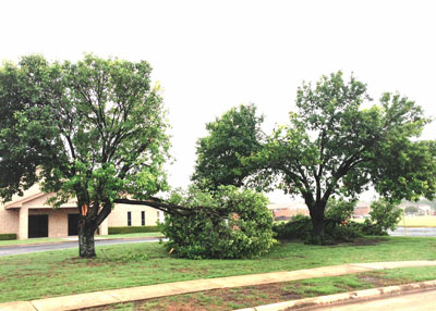 Branch split after high wind storm seems to be common