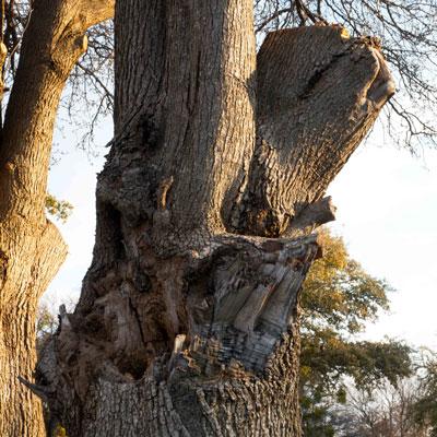 Tree with multiple splits