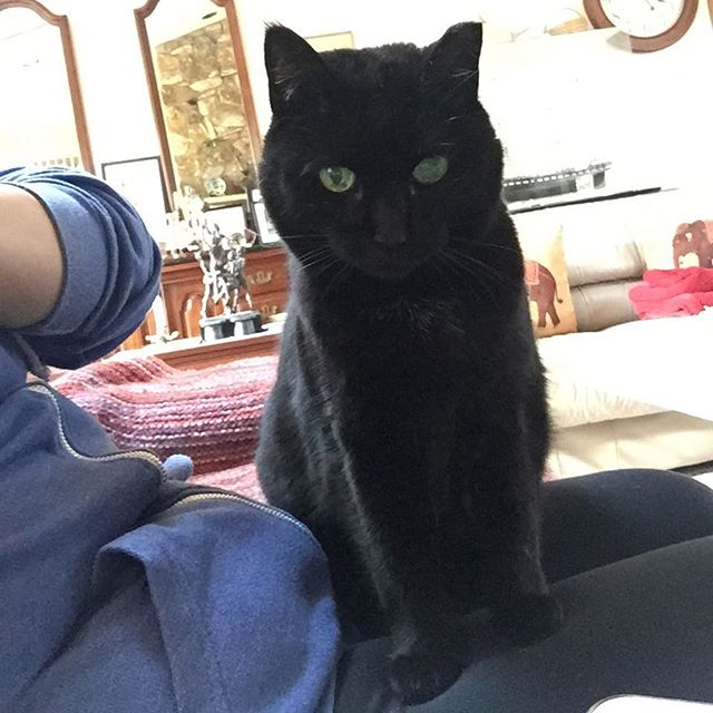 ‪Our cat loves sitting on laps 💕 #catsofinstagram #lapcat #cats #blackcats #BlackCatDva #cute #lovingcat ‬