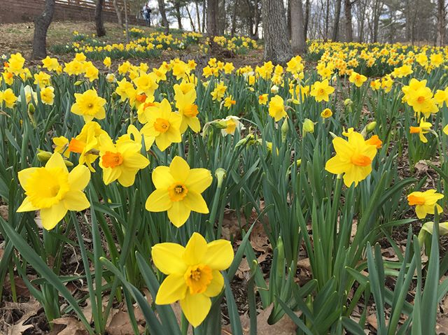Enjoyed a lovely hike yesterday filled with daffodils! #beautiful #daffodils #daffodilseason #seaofyellow #hudsonvalley #springtime #hiking