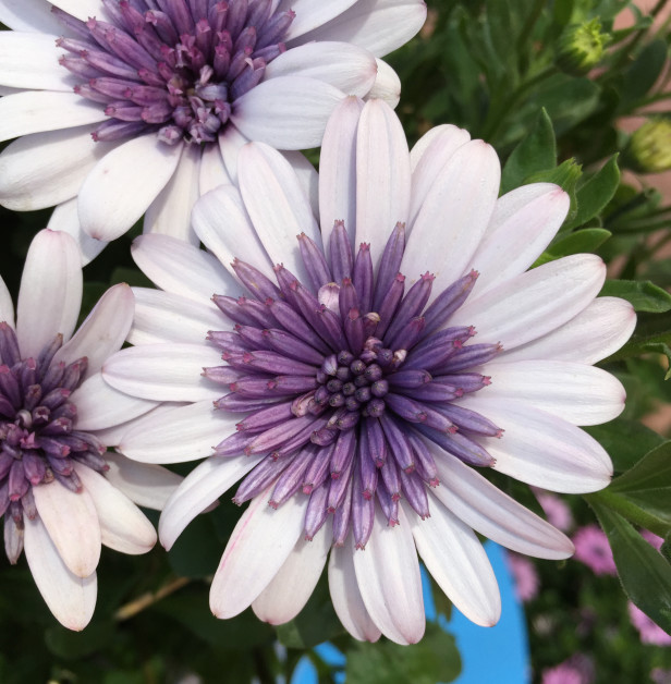 4D Osteospermum Series from Selecta: Featuring an inner burst of purple petals enhanced by an outer burst of white to violet petals depending on the variety, the flowers stay open 24/7. There's also a yellow variety.