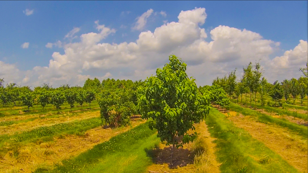The fields at Raemelton Farm, the first USDA-certified organic ornamental tree farm in the country.