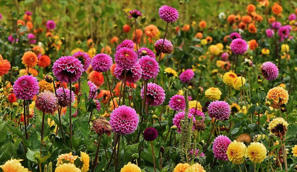 A field of dahlias. Photo from Pixabay.