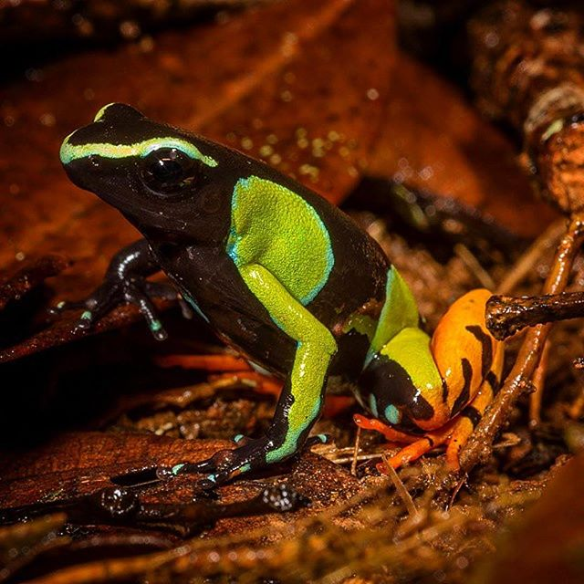 Another one for international frog day. Like a luminous plastic child's toy destined for the land-fill but absolutely real. I've known of the beauty of Madagascar's Mantella frogs for many years but seeing Mantella baronii  for the first time in the wild delivered a wonderful shot of endorphins to slightly obsessive brain. Undoubtedly one of the most breathtakingly stunning frogs you're ever likely to meet. Like the poison arrow frogs of South America these delights also get the toxins their bright colours advertise from the alkaloid rich ants on which they feed. Sadly they are not only reduced to surviving in the tiny forest fragments not yet logged or burned, but also thanks to their small and isolated populations, they are extremely vulnerable to introduced diseases and invasive predators, like the Asian toad, that is now advancing across this tired but still majestic island. . . . #nature #instaessay #conservation #frog #environment #Mantella #iucn #wildlifefilmmaker #sonyF55 #canonnz #sonynz #madagascar #worldfrogday