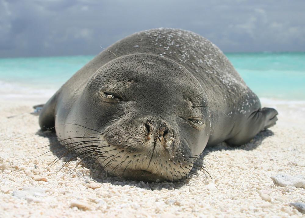 A Shout-Out To The Hawaiian Monk Seal — Hawaiian Ola