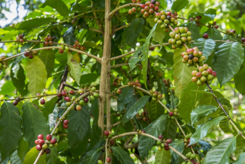 Coffee leaves are packed with antioxidants!