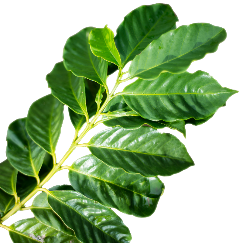 Coffee-leaf.png