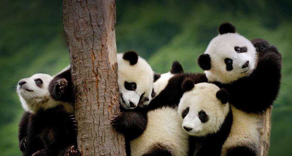 Centro de Cria de Pandas - Chengdu