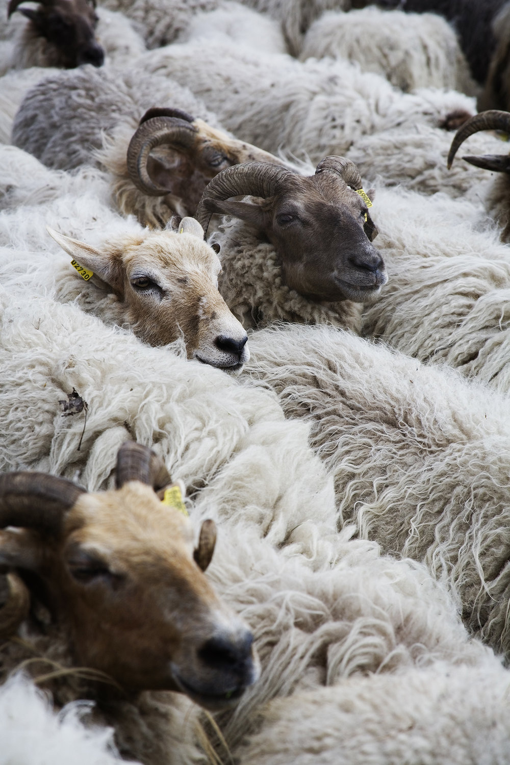A flock of Drenthe Heath sheep.