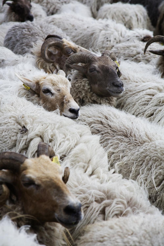 A flock of Drenthe Heath sheep.