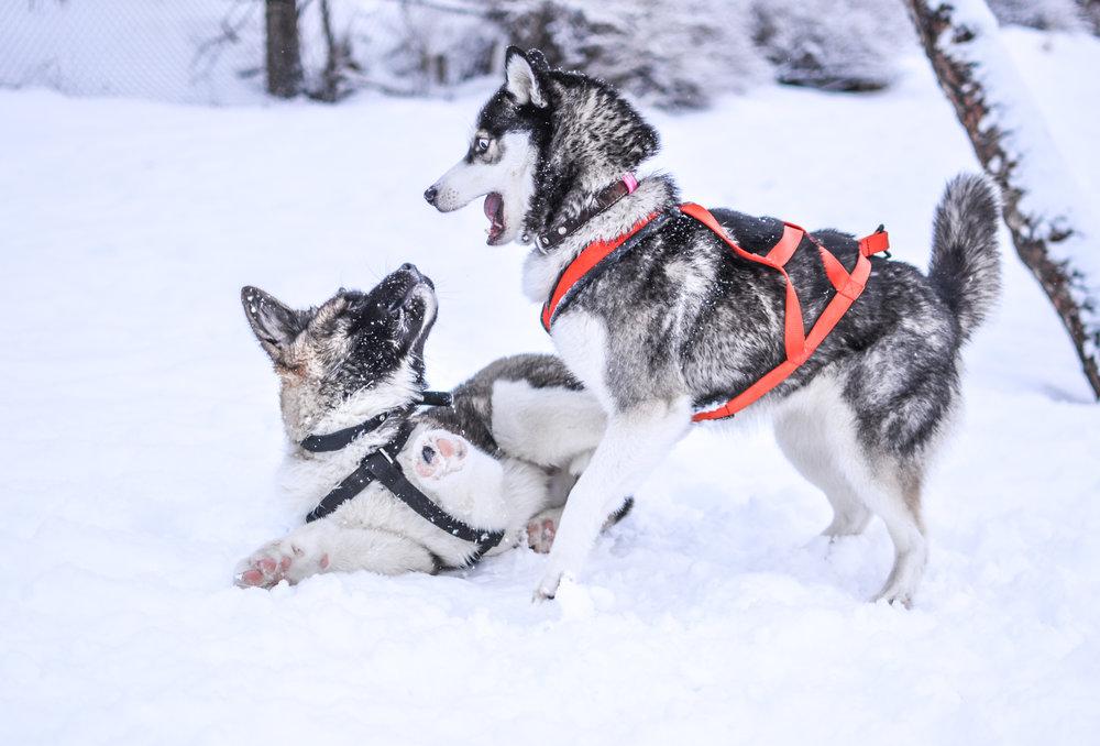 #9 - dogsledding