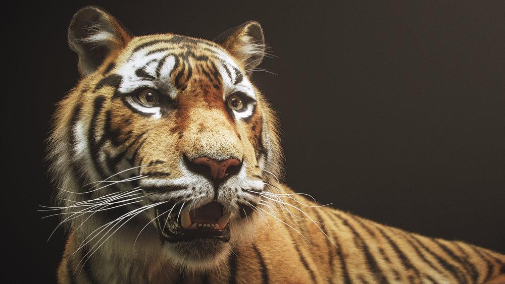 tiger_0880_4k_still_03.jpg