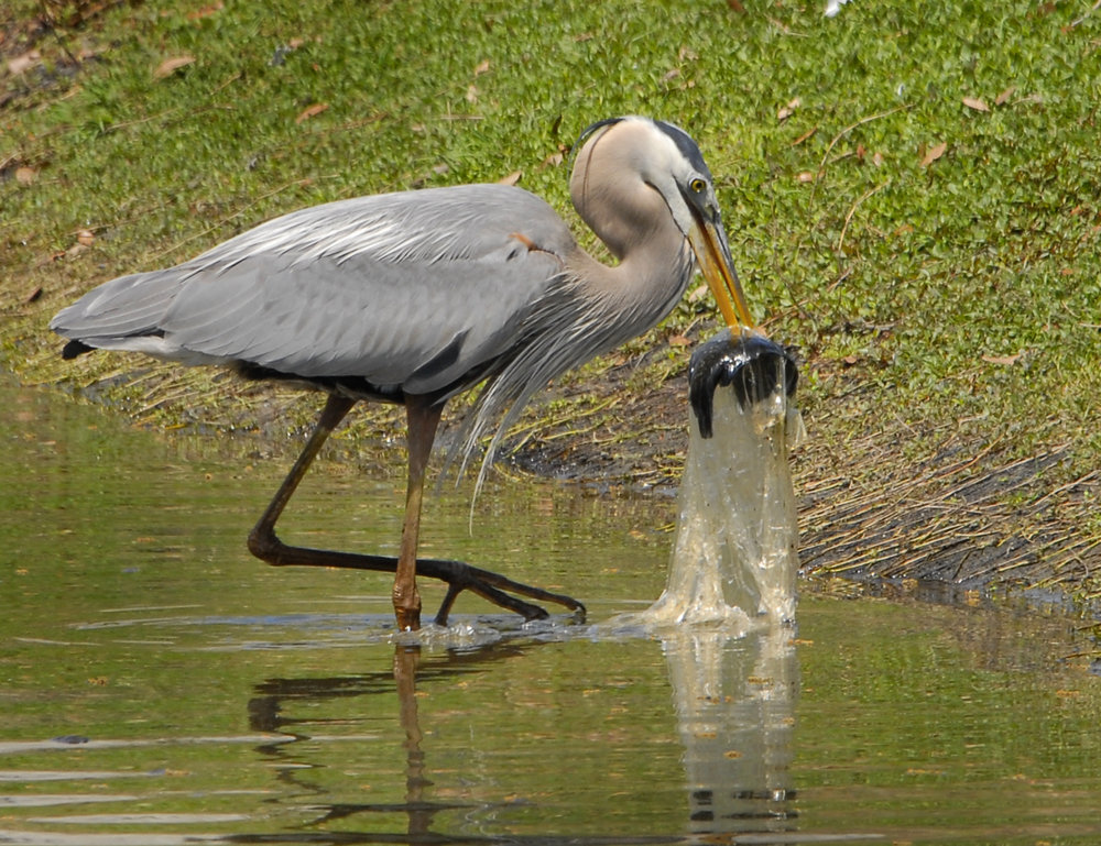 """""""Would you like that in a bag?"""": A great blue heron catches a fish wrapped in plastic."""