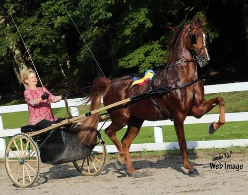 I'm Mighty Bewitching - This 2008 gelding has been shown by an amateur and jr exhibitor. He has wins and reserves from many top shows. He is big and beautiful with tons of personality. Mighty is trainer owned and priced to sale.