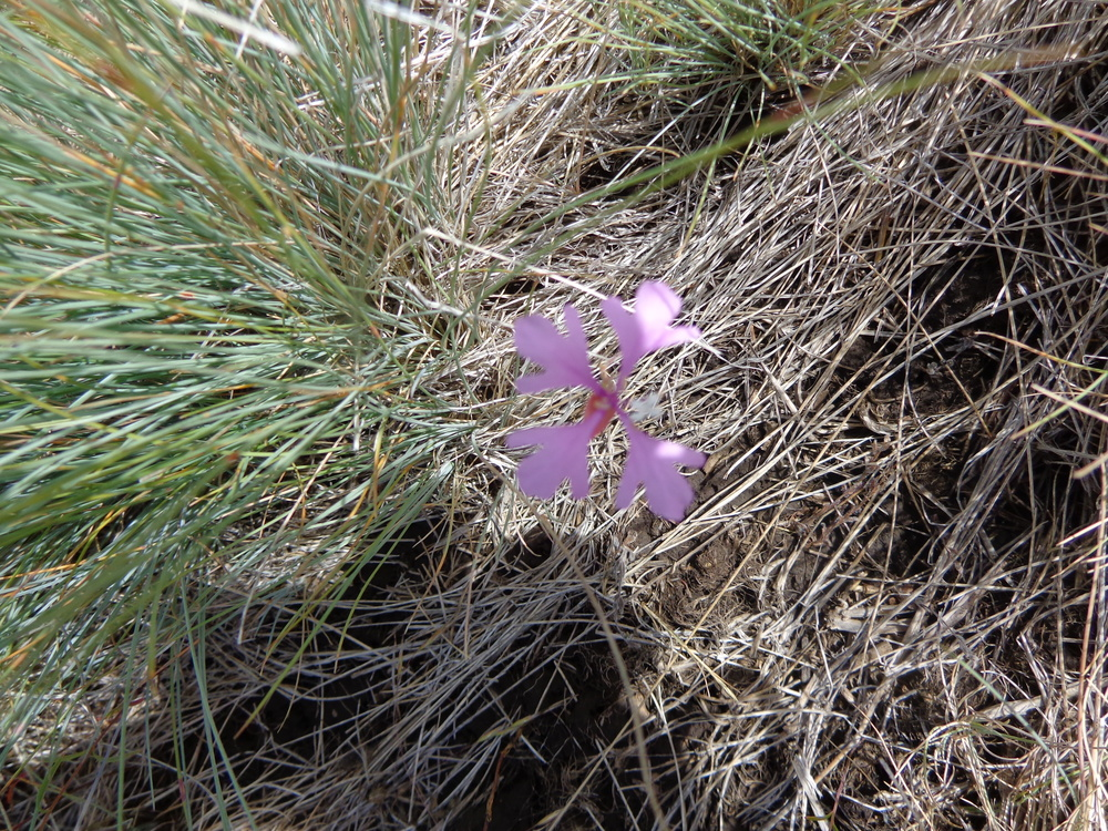 Hill flower 2.JPG