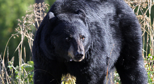 black-bear-mark-bennett-dpc.jpg