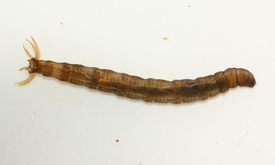 "The ""majestic"" crane fly larva"